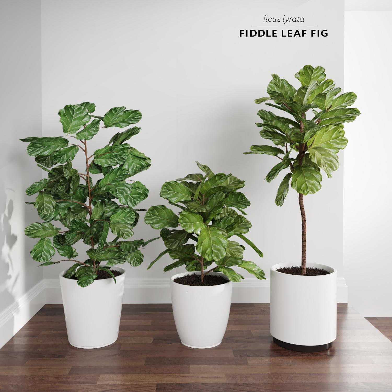 ficus lyrata trees fiddle-leaf 3d model