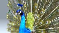pavo peacock ma