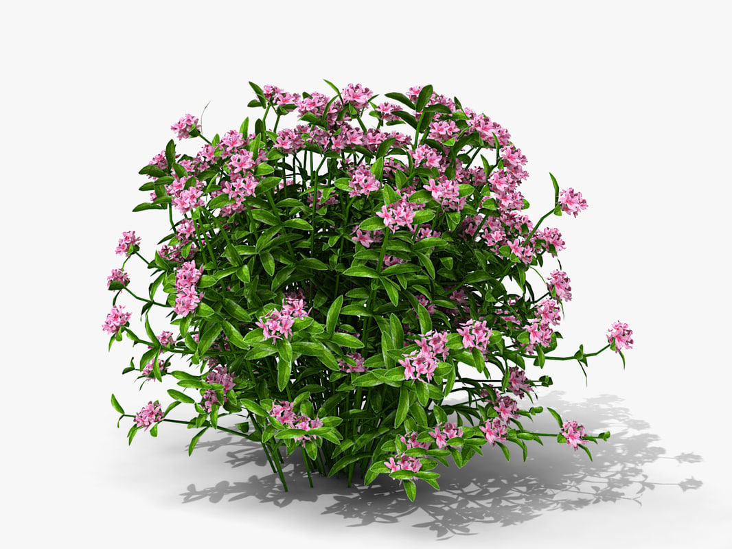 plant imperial queen azalea 3d model
