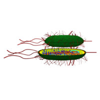procaryotic classical bacteria 3d model