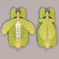 leaf insect walking phylliidae 3d obj