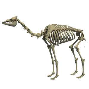 max dromedary arabian camel skeleton animal