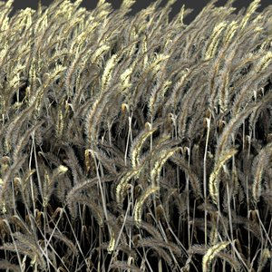 3d realistic wheat
