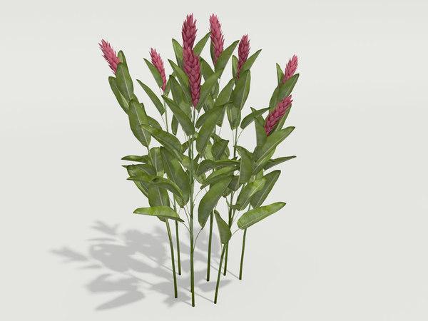 plant alpinia purpurata max