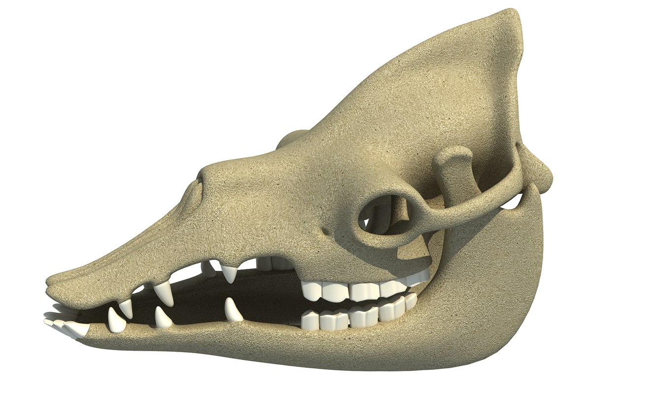 3d model dromedary camel skull skeleton