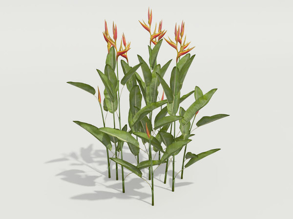 plant heliconia psittacorum 3d model
