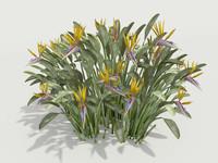 max plant strelitzia reginae