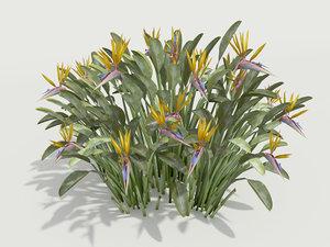 plant strelitzia reginae max