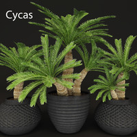 cycas palms tree 3d max