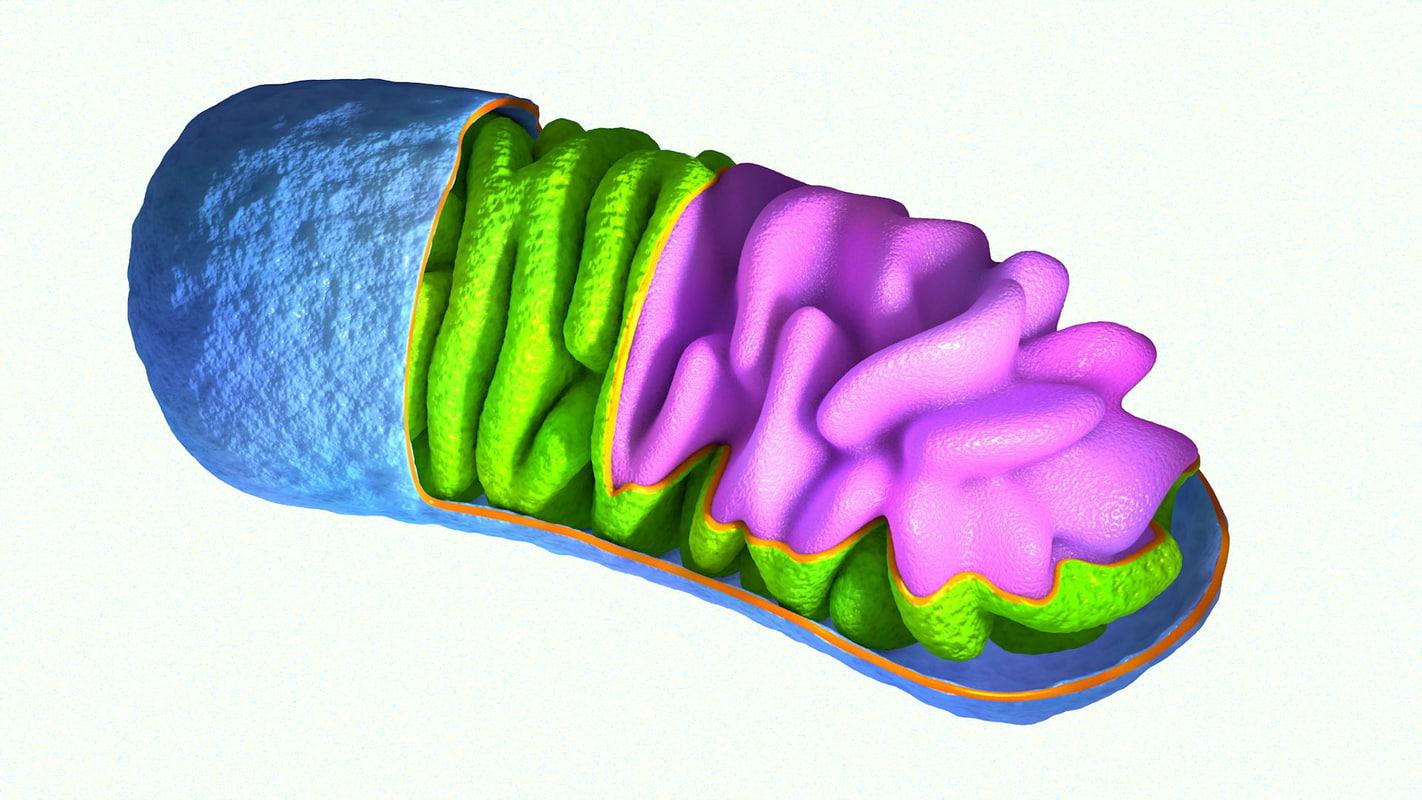 3d model mitochondrium mitochondria