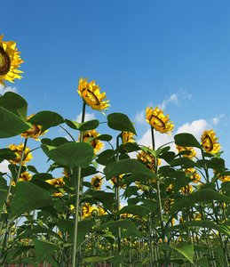 3d max sunflower field