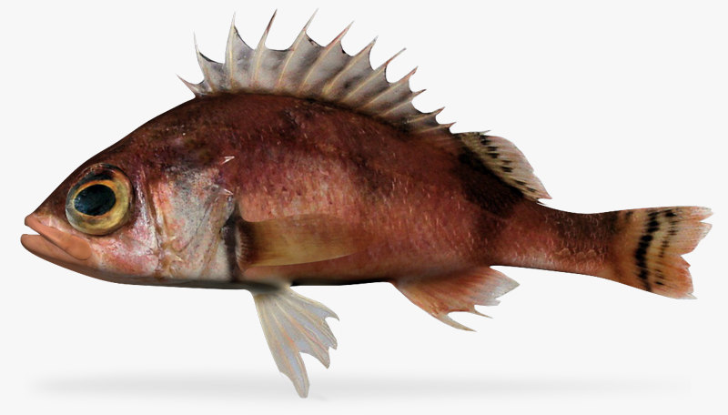 stripetail rockfish 3d model