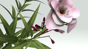 nerium oleander ma