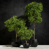 3d model plants ficus benjamin