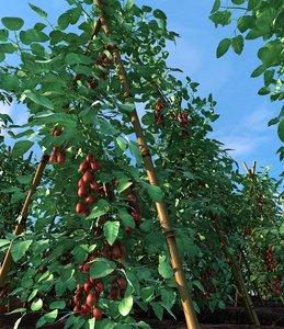 max cherry tomatoes field
