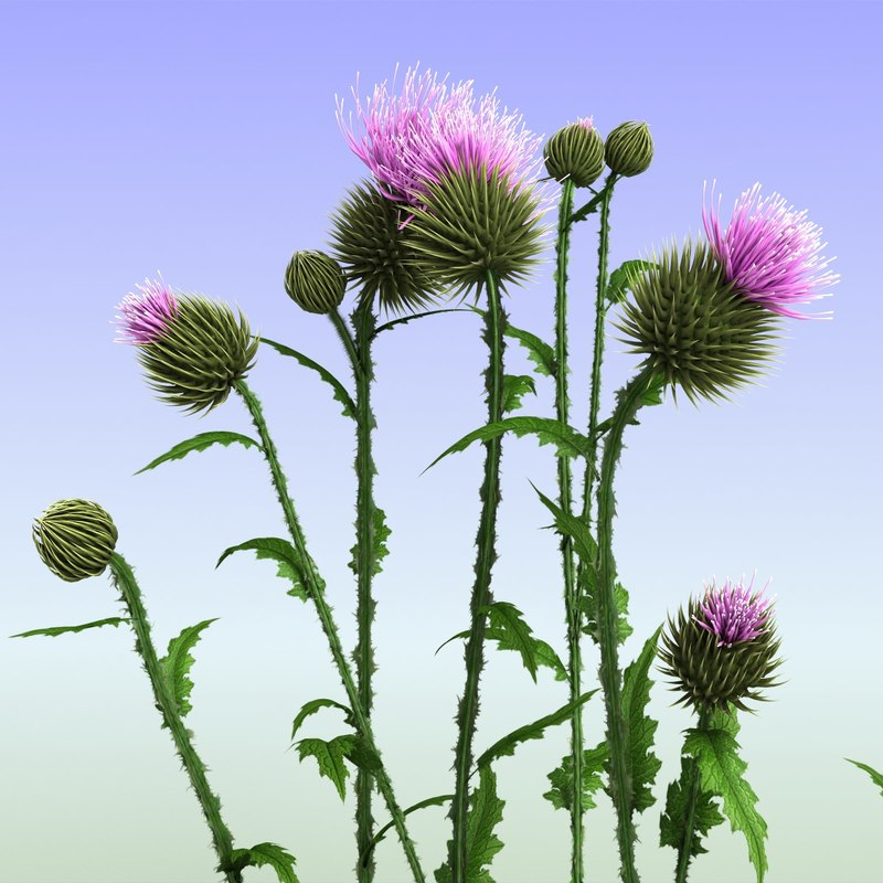 thistle 3d max