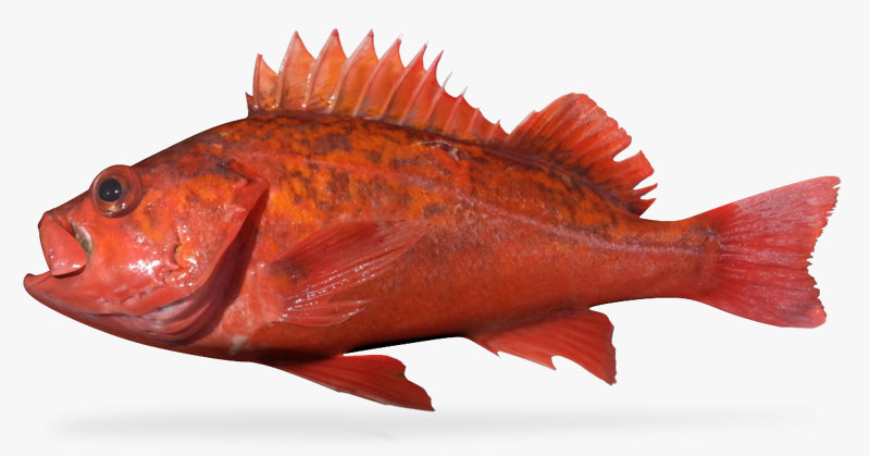 sunset rockfish 3d model