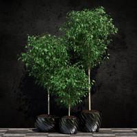 plants ficus benjamin 3d max