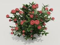 plant ixora coccinea 3d model
