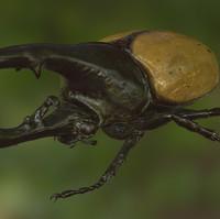 Hercules Beetle Realistic PBR