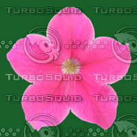 petunia pink flower texture