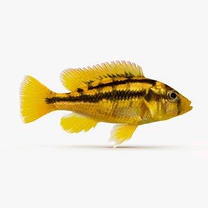 3d model haplochromis sauvagei cichlid