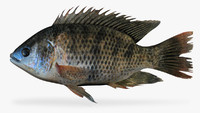 blue tilapia 3d model
