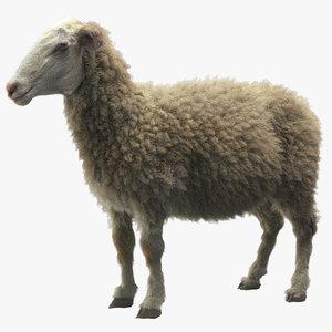 3d sheep -
