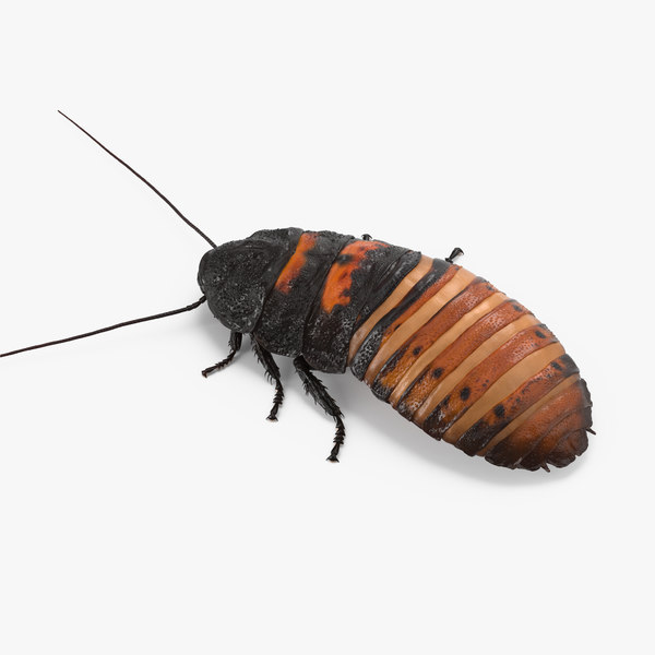 hissing cockroach rigged 3d model
