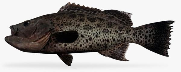 sawtail grouper x