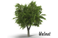 3d model walnut tree