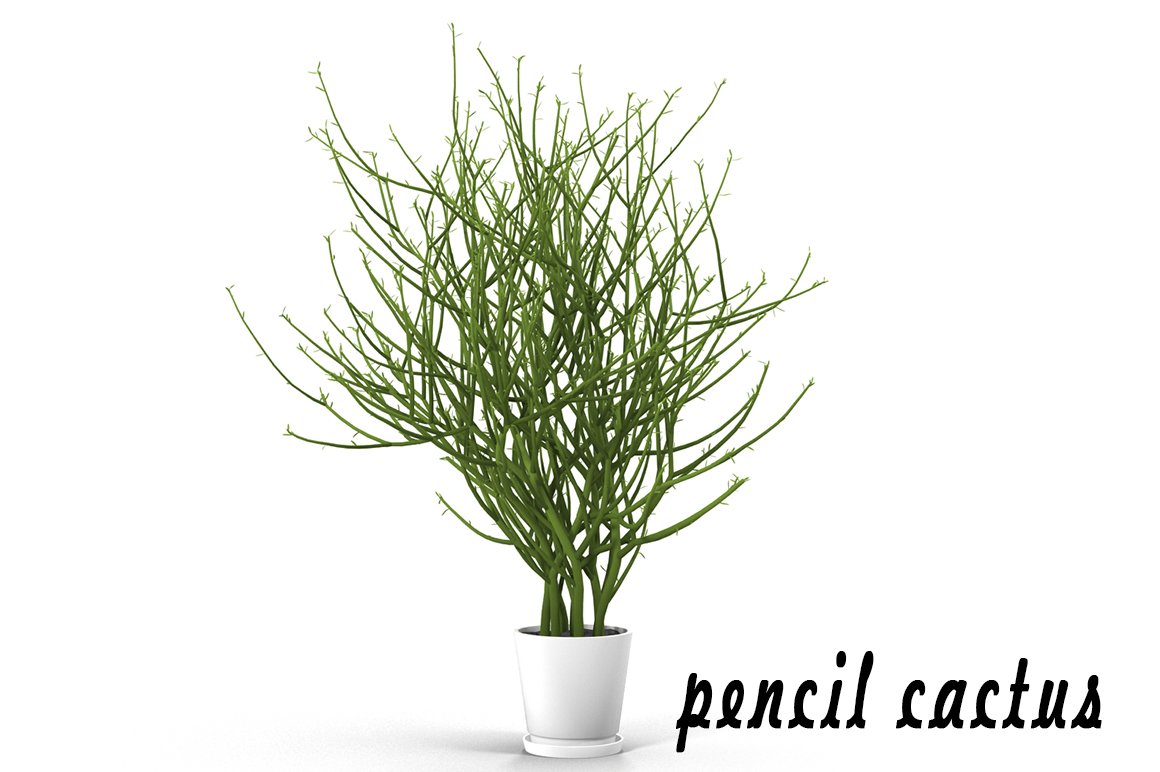 pencil cactus max