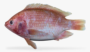 3d fbx hawaiian gold tilapia