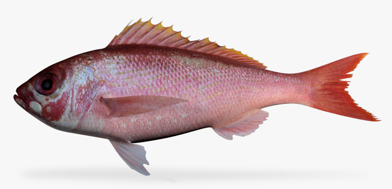 3d model vermillion snapper
