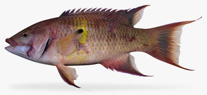 3d mexican hogfish model