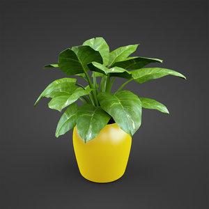 syngonium houseplant max