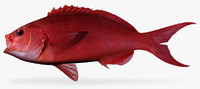 3d pacific creolfish model