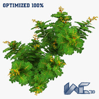 cassia angustifolia plant 3ds