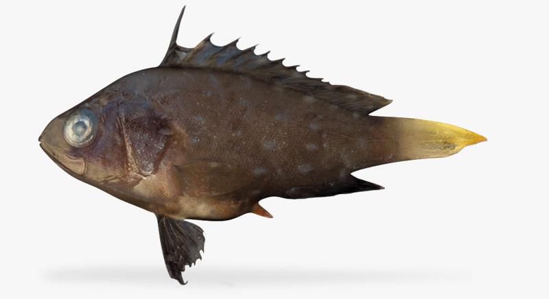 star studded grouper fbx