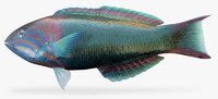 sunset wrasse ma