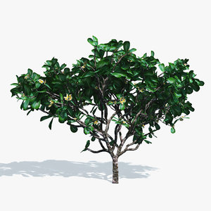 3d flowering frangipani tree model