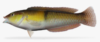 3d yellowhead wrasse