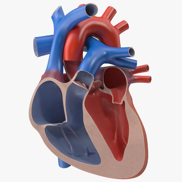 3d model human heart cutaway