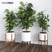 3d model ficus trees