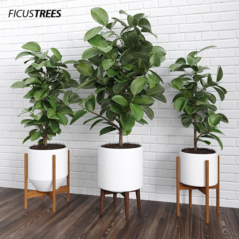 ficus trees 3d model