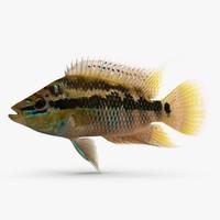 trichromis salvini 3ds