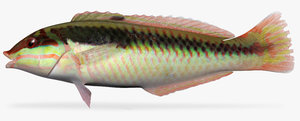 3d clown wrasse