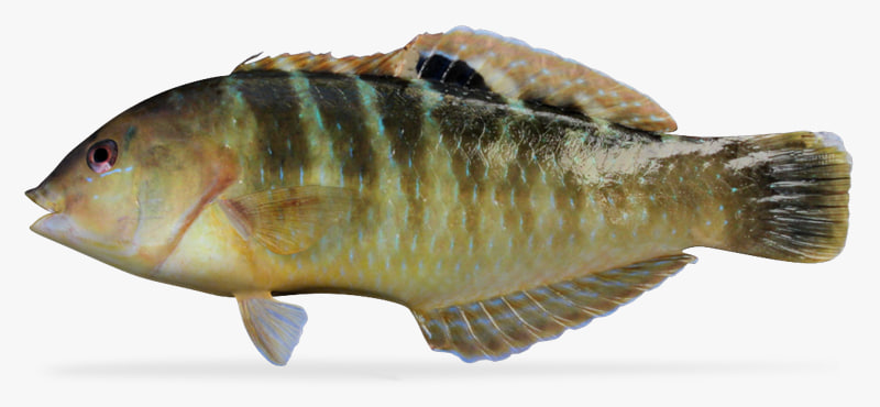 banded wrasse 3d ma