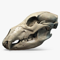 Bear Skull Highly Detailed