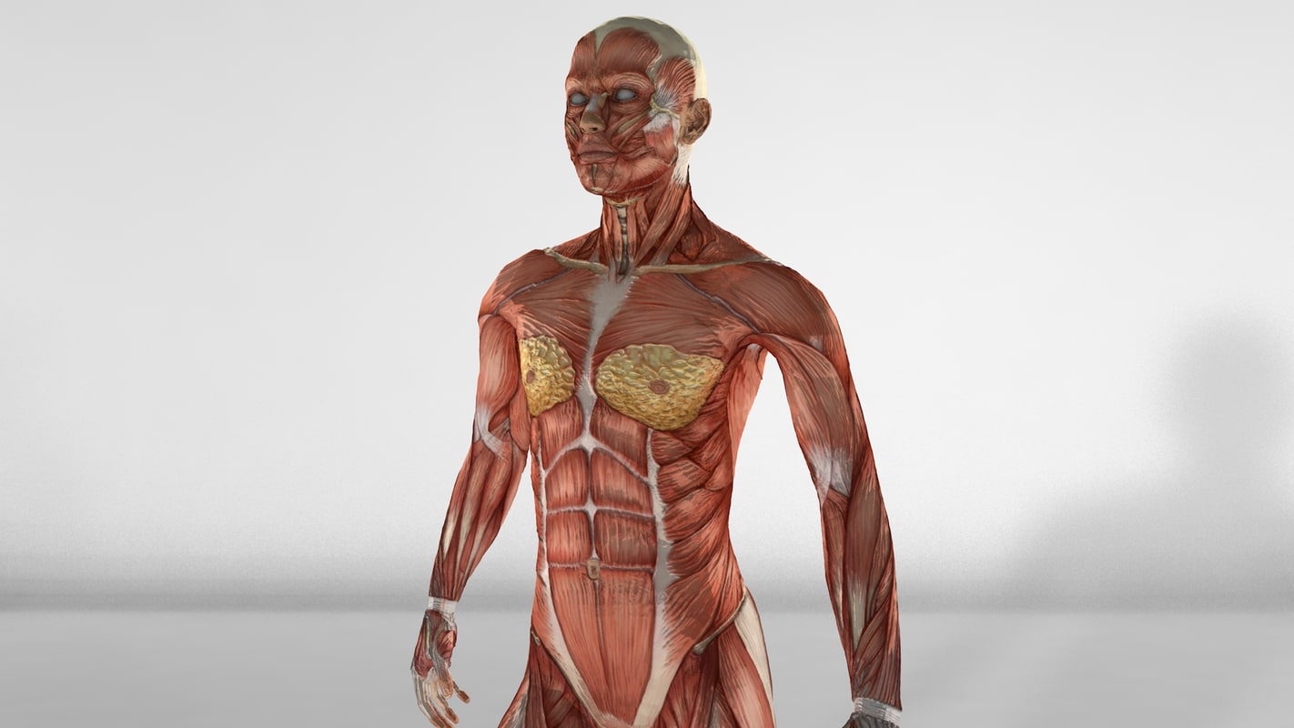 female muscular anatomy c4d